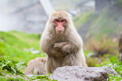 Free Japanese Macaque Stock Image - 33507741