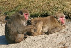 Japanese Macaque. Two Japanese macaque grooming one another Stock Photography