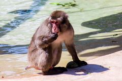 The Japanese macaque stock images