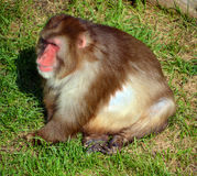 The Japanese macaque. Also known as the snow monkey, is a terrestrial Old World monkey species that is native to Japan Stock Images