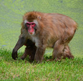 The Japanese macaque. Also known as the snow monkey, is a terrestrial Old World monkey species that is native to Japan Stock Photos