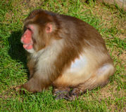 The Japanese macaque. Also known as the snow monkey, is a terrestrial Old World monkey species that is native to Japan Stock Photo
