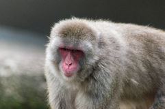 A japanese macaque ape Stock Photos