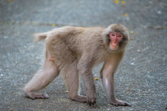 Japanese Macaque Appeared in the Town-Macaca fuscata Royalty Free Stock Image