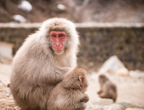 Japanese macaque with baby Royalty Free Stock Image