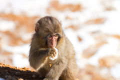 Japanese macaque baby in winter. Eating snow Royalty Free Stock Image