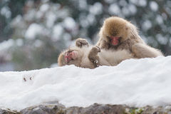 Japanese macaque bathing in hot springs stock photography