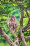 Japanese macaque on the branch, Arashiyama, Kyoto, Japan Stock Image