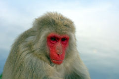 Japanese macaque Stock Images