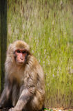 Japanese Macaque Captured in the Trap-Macaca fuscata Royalty Free Stock Photos