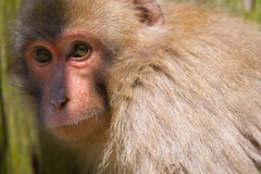 Japanese Macaque Captured in the Trap-Macaca fuscata Stock Photos