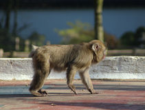Japanese macaque in city Stock Photo