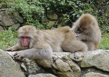 Japanese Macaque Couple Royalty Free Stock Photography