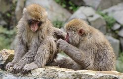 Japanese Macaque Couple Royalty Free Stock Image