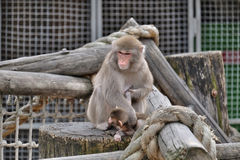 Japanese macaque cub learns the world around us Royalty Free Stock Photos
