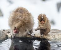 The Japanese macaque and cub.  Natural habitat. Japan. The Japanese macaque and cub. Scientific name: Macaca fuscata, also known as the snow monkey. Natural royalty free stock photos