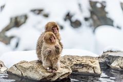 The Japanese macaque and cub. Natural habitat. Japan. The Japanese macaque and cub. Scientific name: Macaca fuscata, also known as the snow monkey. Natural royalty free stock images