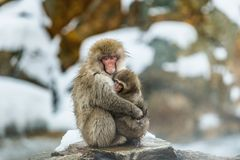 The Japanese macaque and cub.  Natural habitat. Japan. The Japanese macaque and cub. Scientific name: Macaca fuscata, also known as the snow monkey. Natural royalty free stock image