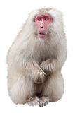 Japanese Macaque Cut Out Royalty Free Stock Image