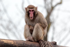 Japanese macaque grimaces with his tongue out Stock Image