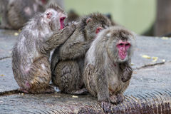 Japanese macaque group monkey portrait at the zoo Royalty Free Stock Image