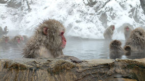 Japanese Macaque in hot spring. Japanese Macaque in natural hot bath in winter, Nagano Japan Stock Photos
