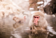 Japanese macaque in hot spring Royalty Free Stock Photo