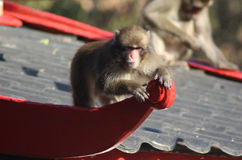 Japanese macaque on house Royalty Free Stock Images