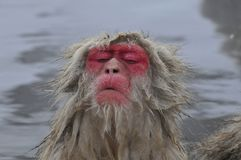 Japanese Macaque, Japanse makaak, Macaca fuscata royalty free stock photography