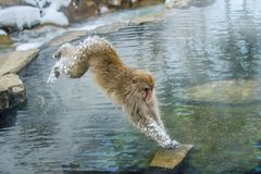 Japanese macaque in jump through a natural hot spring. royalty free stock image