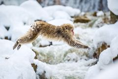 Japanese macaque in jump. Macaque jumps. Natural hot spring. Winter season. The Japanese macaque Scientific name: royalty free stock images