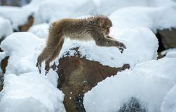 Japanese macaque in jump. royalty free stock photos
