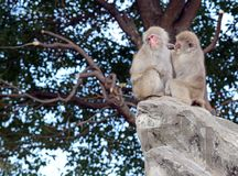 Japanese macaque monkeys in Japan. Japanese macaque, known as snow monkeys live in colder climates in Japan and often visit warm water spa or onsen in the Royalty Free Stock Photo