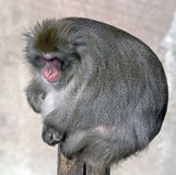 Japanese macaque 3 Royalty Free Stock Images