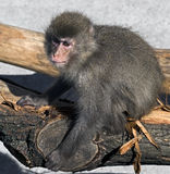 Japanese macaque 4 Stock Images