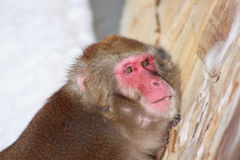 Japanese macaque looking into the camera lens. Snow monkey Royalty Free Stock Images