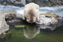 Japanese Macaque Looks at it's Reflection in Water Stock Photography