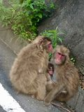 Japanese Macaque Family in Izu Peninsula. The Japanese macaque /məˈkɑːk/;[3] Macaca fuscata, also known as the snow monkey, is a terrestrial Old royalty free stock photography