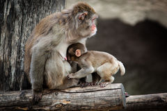 Japanese Macaque, Macaca fuscata Royalty Free Stock Image