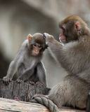 Japanese Macaque, Macaca fuscata Royalty Free Stock Images