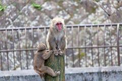 Japanese Macaque - Macaca Fuscata Stock Photo