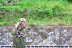 Japanese Macaque - Macaca Fuscata Stock Image