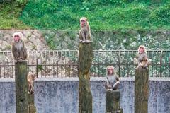 Japanese Macaque - Macaca Fuscata Stock Photography