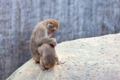 Japanese Macaque - Macaca Fuscata Royalty Free Stock Photo