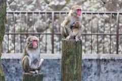 Japanese Macaque - Macaca Fuscata Royalty Free Stock Photos