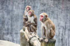 Japanese Macaque - Macaca Fuscata Stock Images