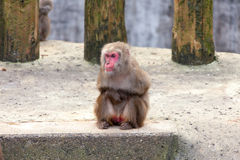 Japanese Macaque - Macaca Fuscata Royalty Free Stock Photography