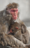 Japanese Macaque (Macaca fuscata) Mother and Baby Stock Images