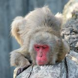 Japanese macaque Macaca fuscata with red face. And sensual glmpse Stock Image