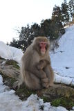 Japanese Macaque (Macaca fuscata), Snow Monkey - Nagano Japan Stock Image